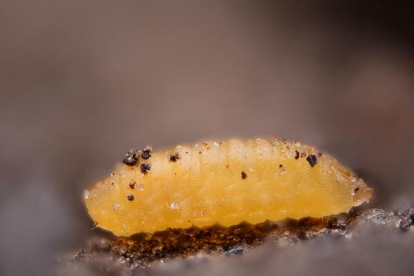 ショクガタマバエの幼虫