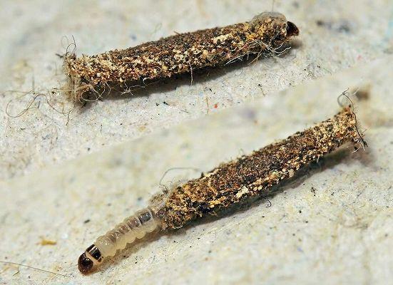 イガの幼虫