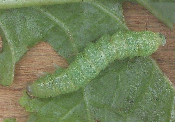 コナガの幼虫