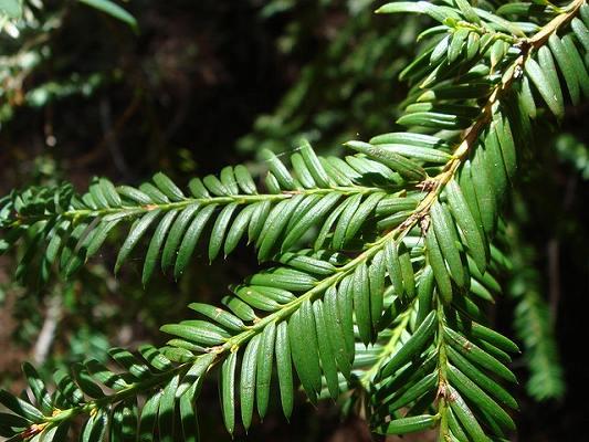 イチイの葉