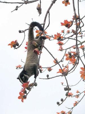 枝にぶら下がるハクビシン