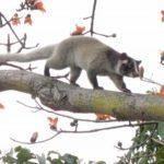 木の枝を歩くハクビシン