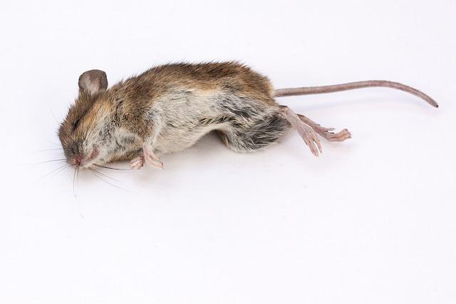 死んだネズミ