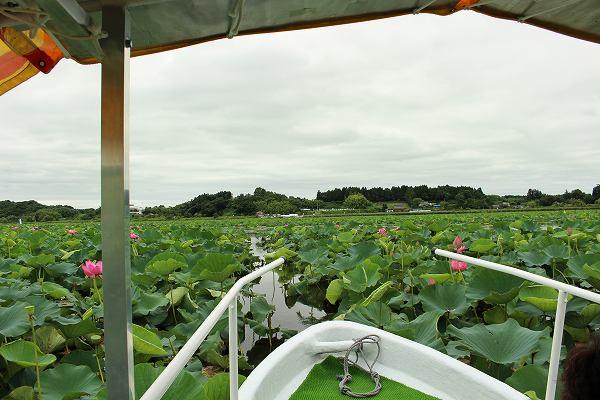 伊豆沼のハスの遊覧船
