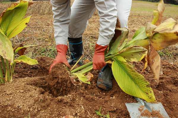 栽培 ウコン