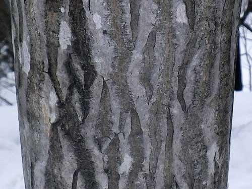 ヤマウルシの樹皮