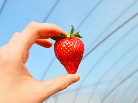 栃木のイチゴ
