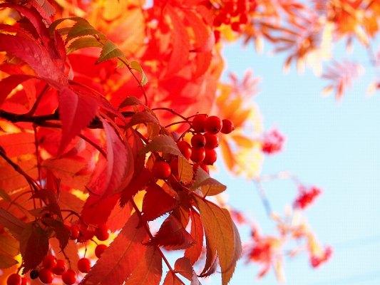 ナナカマドの紅葉
