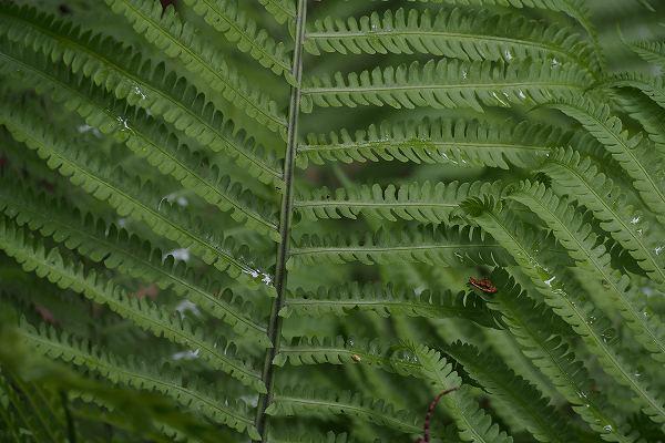 クサソテツの葉