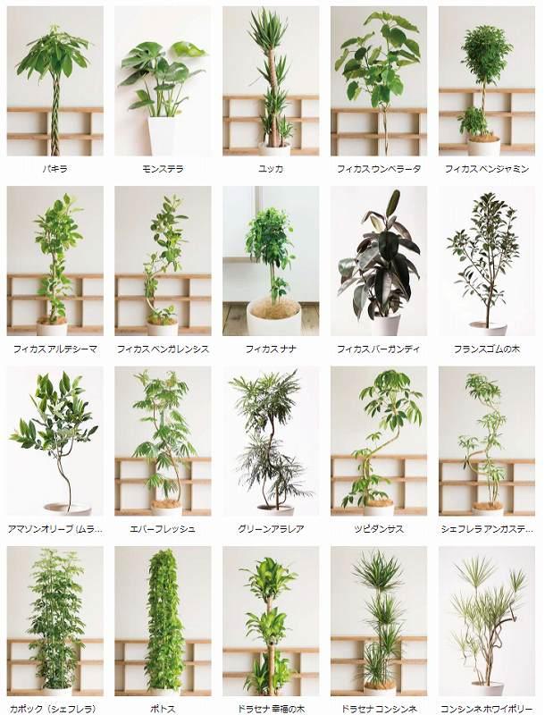 hitohana 観葉植物の種類