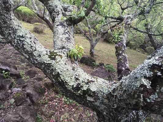 梅の木の地衣類
