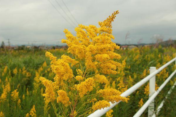 セイタカアワダチソウの花粉はアレルギーの原因になる?意外な