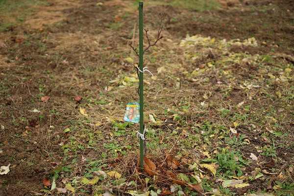 キウイの苗木