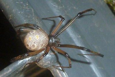 セアカゴケグモの画像 p1_23