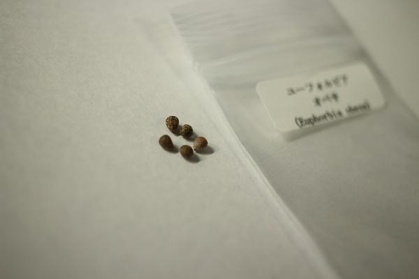 オベサ種子