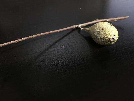 ウスタビガの繭