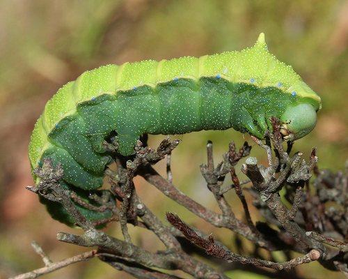 ウスタビガの幼虫