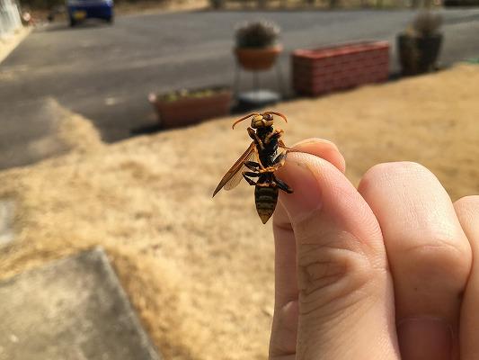 キアシナガバチの特徴