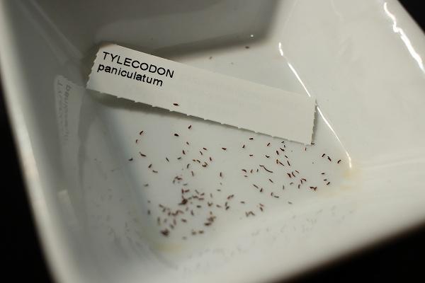 チレコドンパニクラーツス