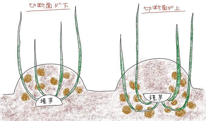 ジャガイモの植え方