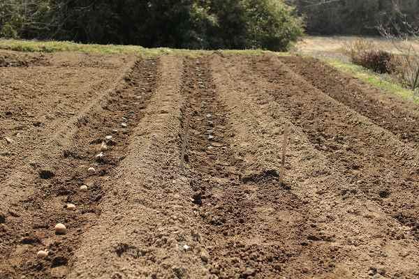 種芋植えつけ