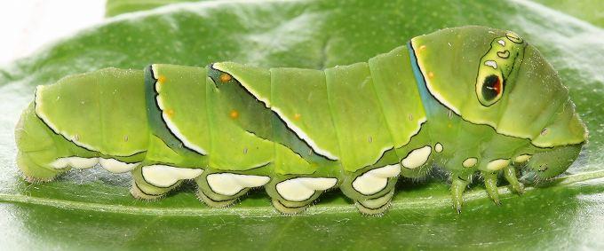 ナミアゲハの終齢幼虫