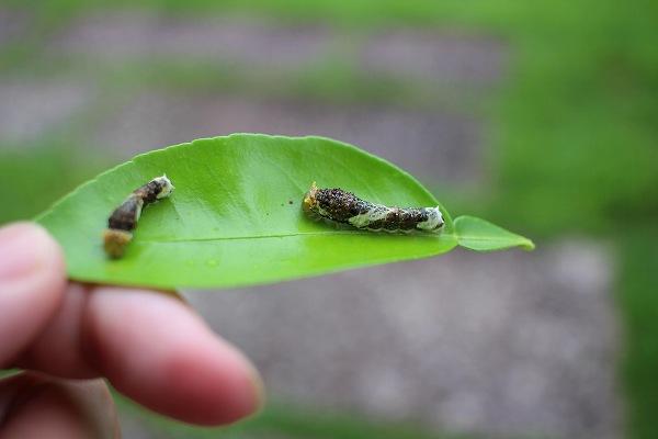 アゲハ 幼虫