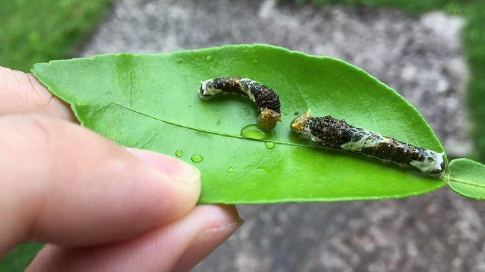 水分をとる幼虫