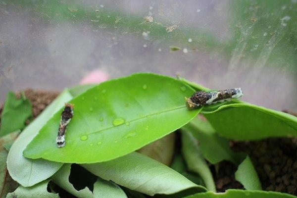 クロアゲハの幼虫