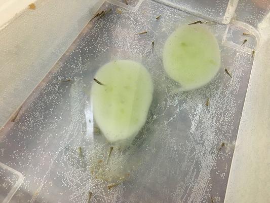 クロサンショウウオの孵化