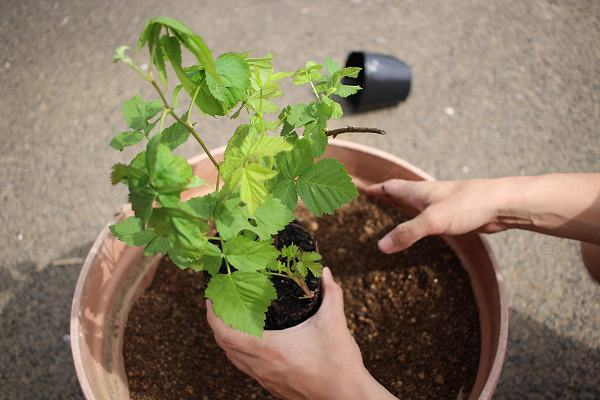 鉢植え ボイズンベリー